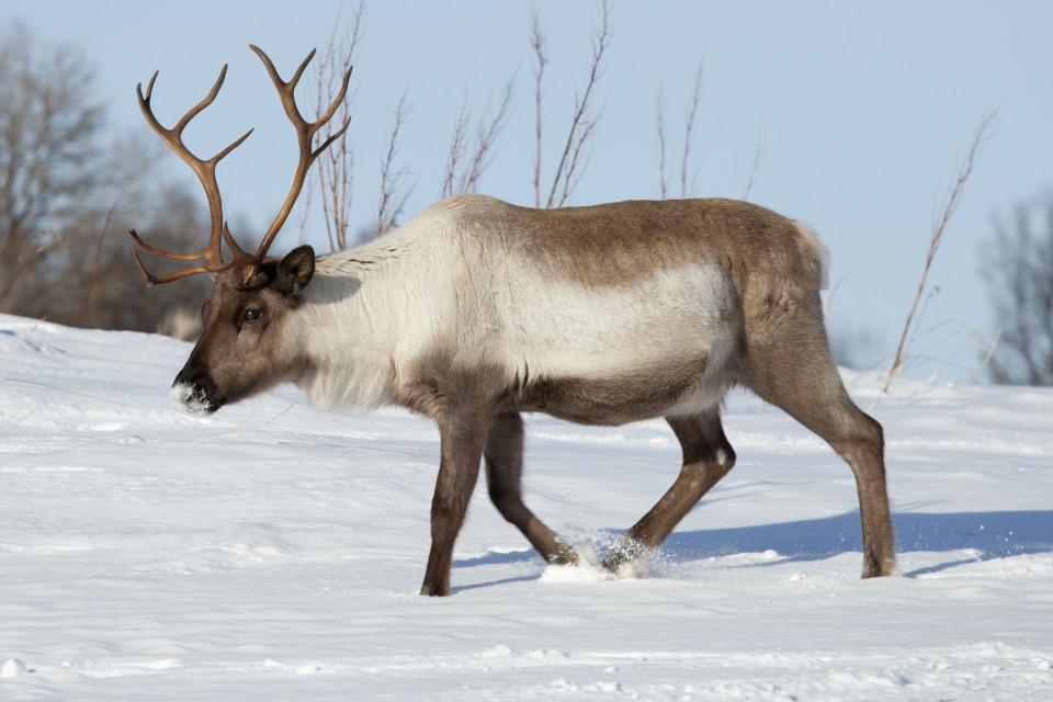 Reindeer - Japari Library, the Kemono Friends Wiki