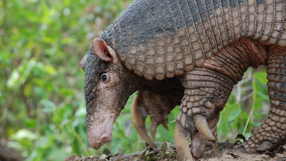 an overview of the armadillo in the animal kingdom What was the armadillo/canine hybrid in noah up vote 5 down vote favorite the 2014 film noah (starring russell crowe) seemed to contain a number of very unusual.