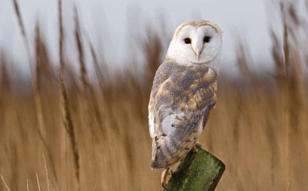 Barn Owl Japari Library The Kemono Friends Wiki