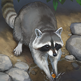KF3 Raccoon (Photo)Thumb.png