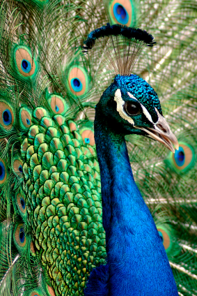 Indian Peafowl Japari Library The Kemono Friends Wiki