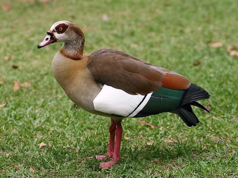 Egyptian Goose Japari Library The Kemono Friends Wiki